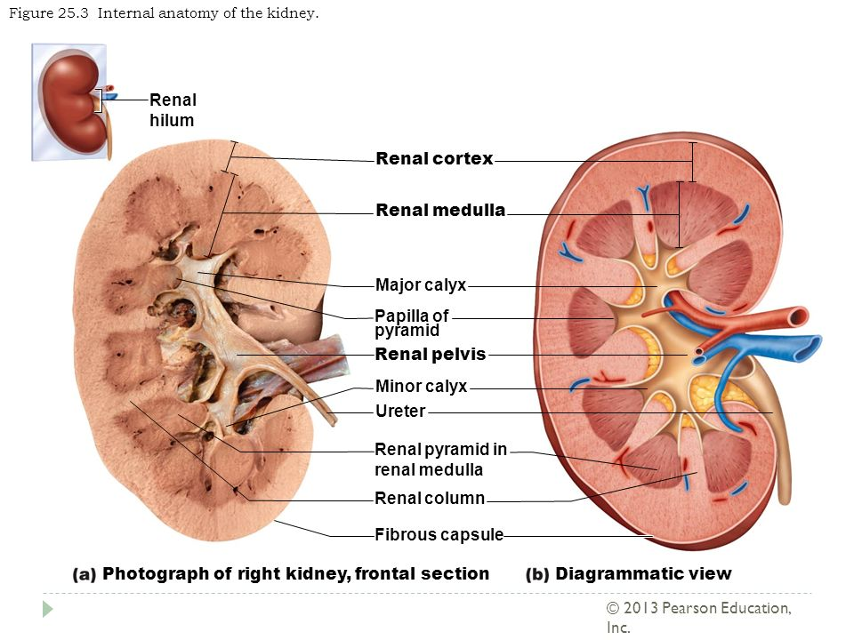 The Urinary System Part 1