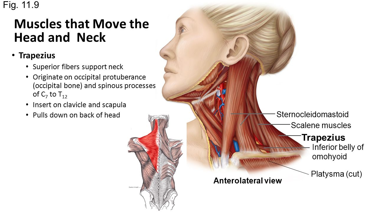 Chapter 11 Part 2 Muscles Of The Head And Neck Ppt Video Online