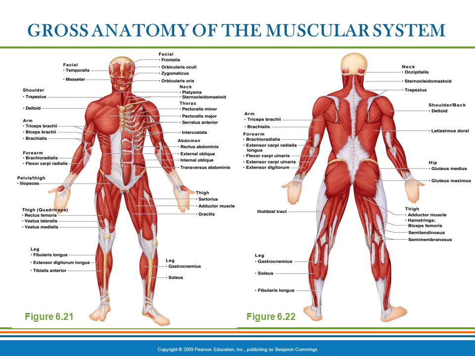Muscular System In Human Body Best Photo Gallery For Website With