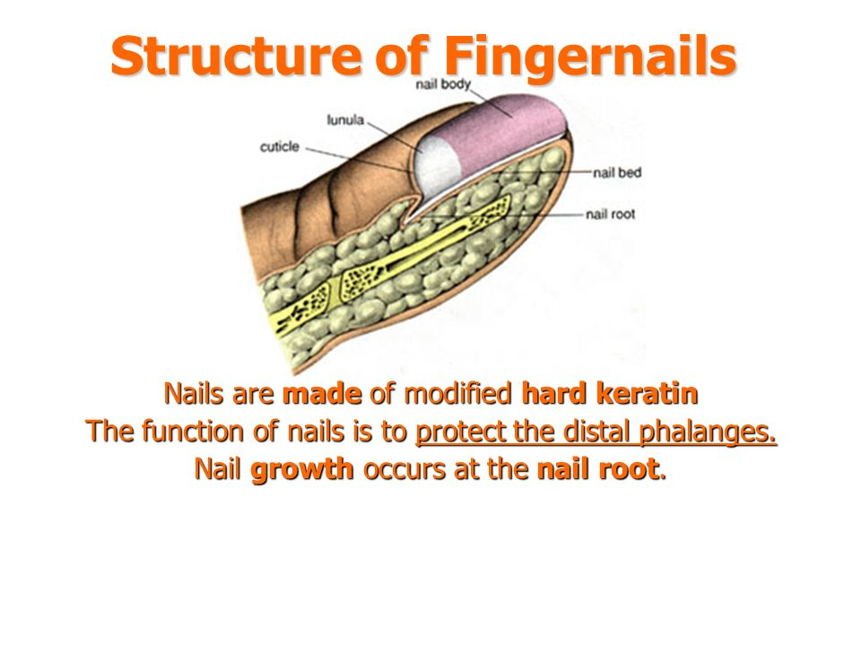 Dorable Integumentary System Nails Motif - Anatomy And Physiology ...