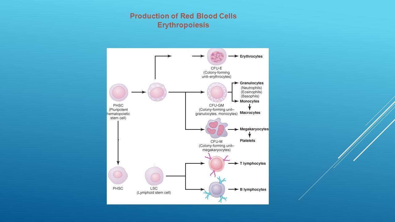 White Blood Cell Diagram Er Diagram Ppt Human Digestive System