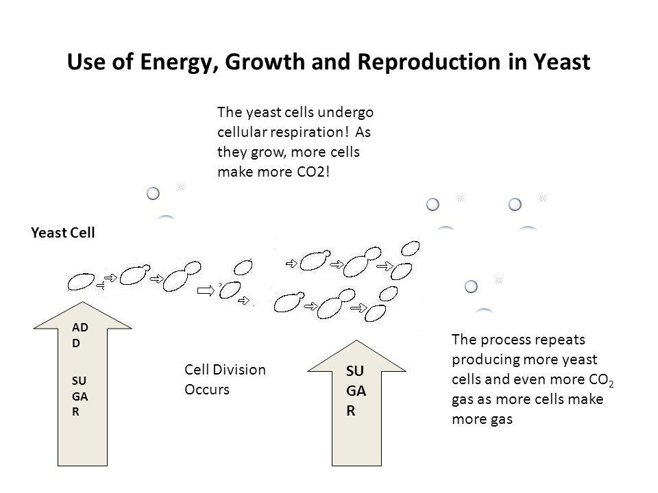 Lab Investigation: Yeast Population Dynamics - ppt video
