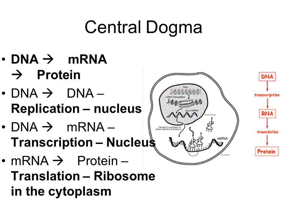 central dogma flow chart gallery