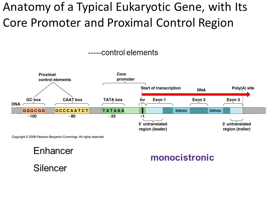 The Cell Nucleus and the Control of Gene Expression - ppt video ...