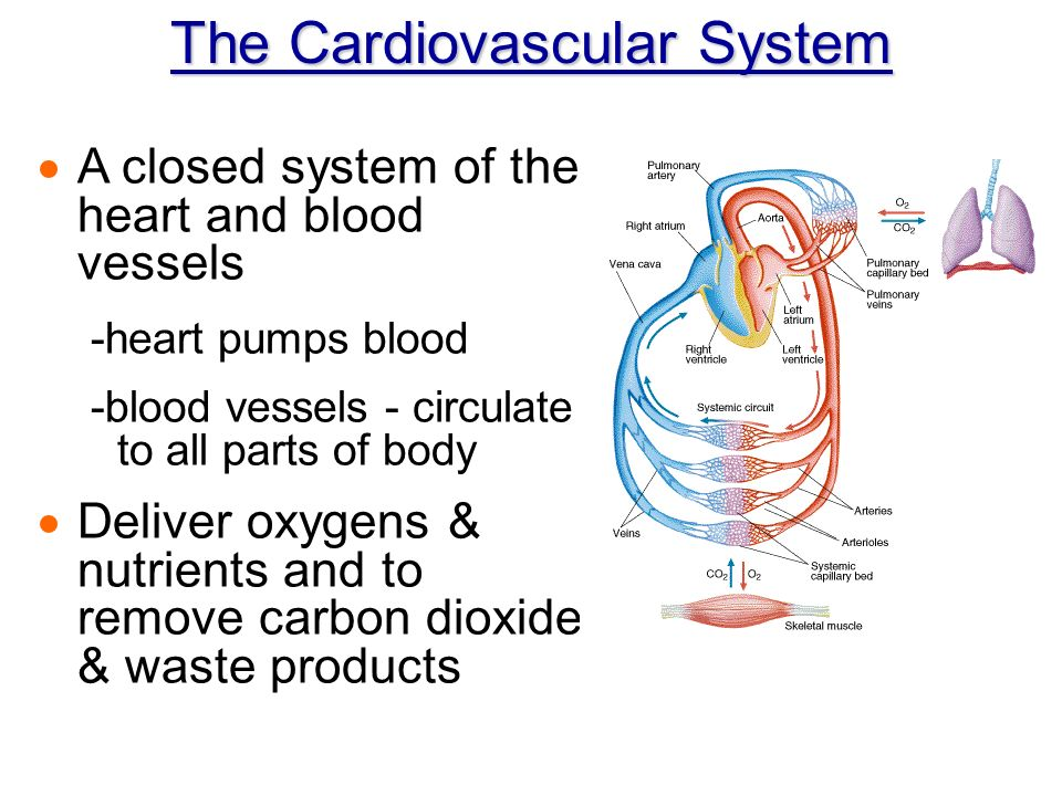 Chapter 11 The Cardiovascular System - ppt video online download