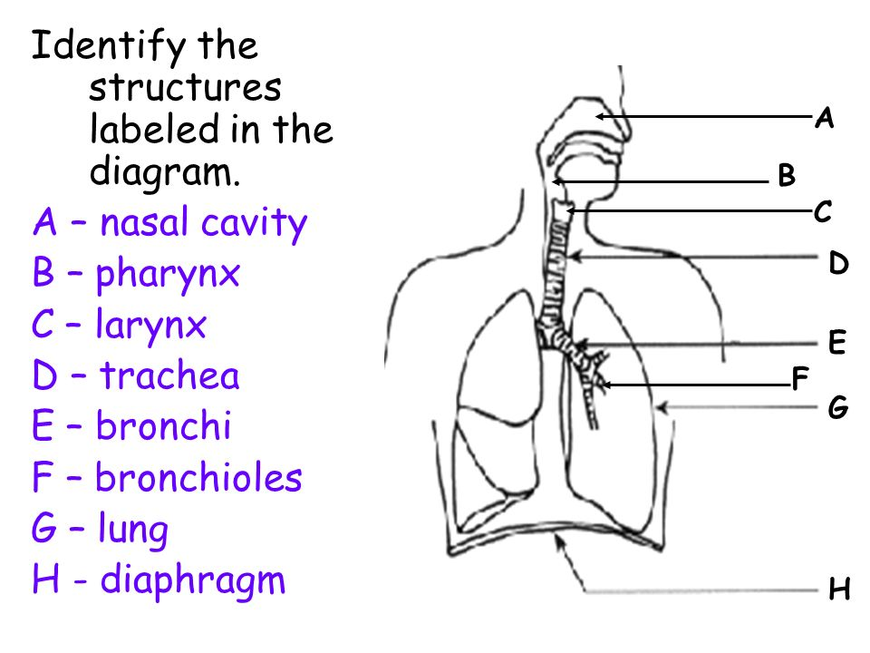 Respiratory Diagram For Labeling Search For Wiring Diagrams