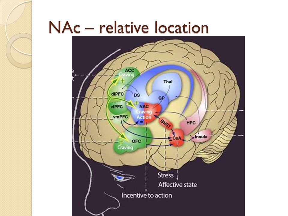 Nucleus Accumbens An Introductory Guide. - ppt video online download