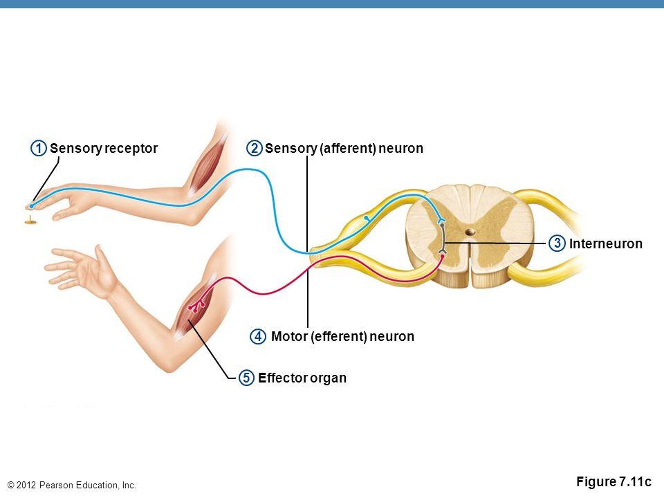 Need to shorten 7 the nervous system ppt video online download sensory afferent neuron motor efferent neuron ccuart Images