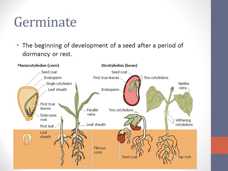 Lima Bean Seed Diagram Product Wiring Diagrams