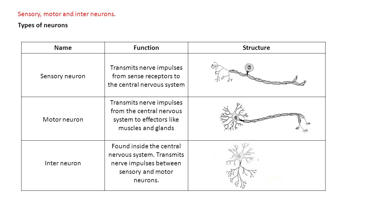 Neurons And Neural Pathways Ppt Video Online Download