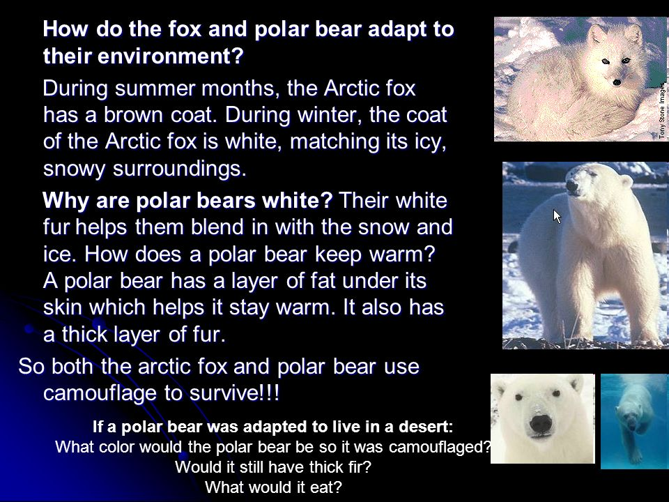 how have polar bears adapted to their habitat