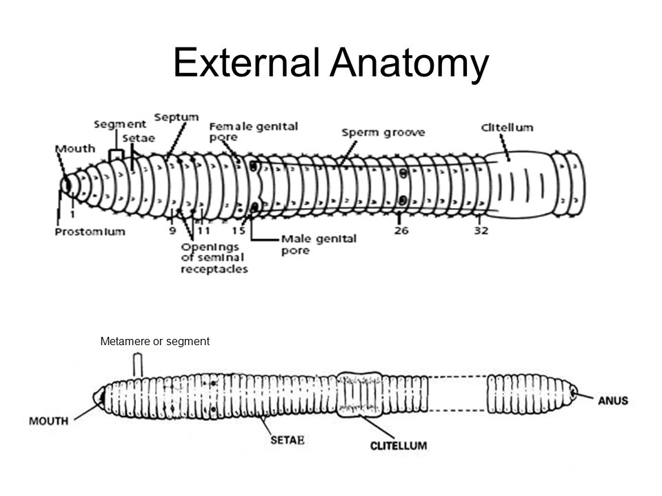 Worm Dissection 2014 WARNING: STAY FOCUSED IN THIS LAB - ppt video ...