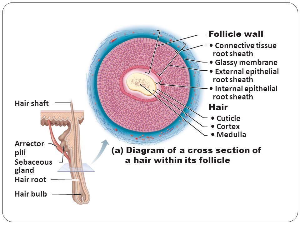 Hair Shaft Dermal Papillae Epidermis Subpapillary Vascular Plexus