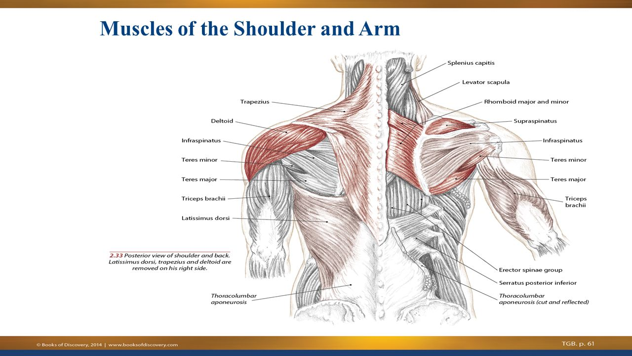 CHAPTER 5 Shoulder Complex - ppt video online download