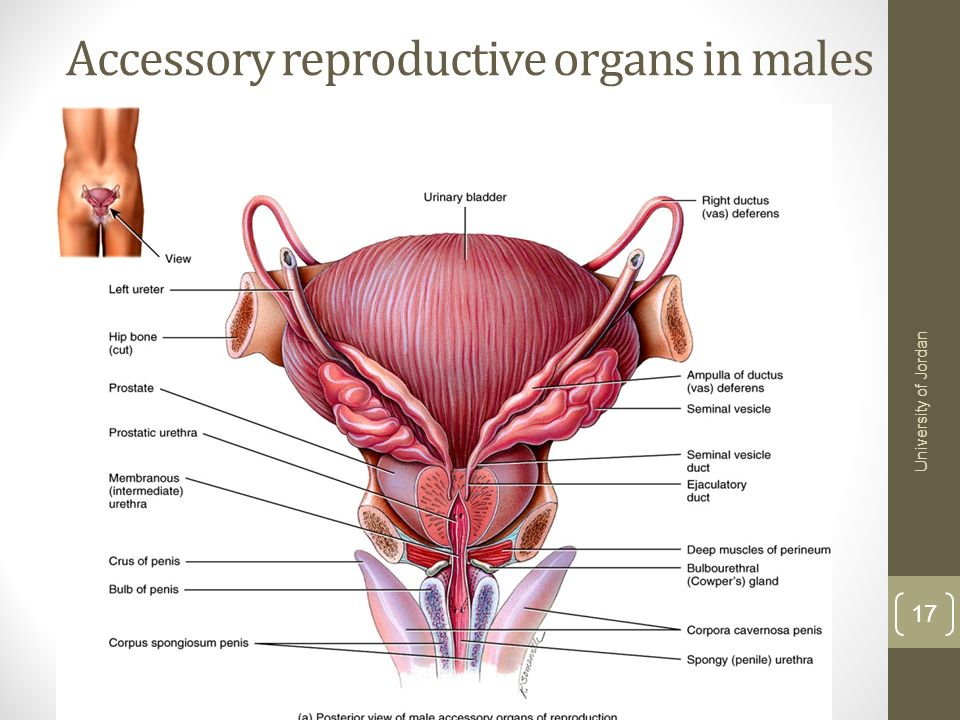 The Reproductive Systems Tortora Chapter 28 13ed Ppt Download