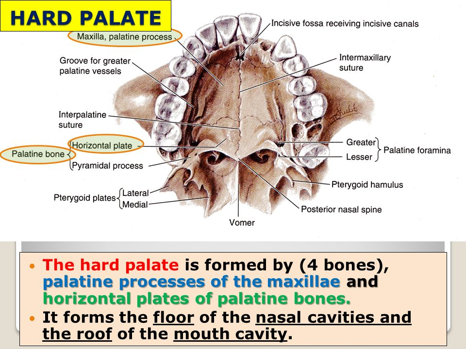 Clinical Anatomy Of Oral Cavity Ppt Video Online Download