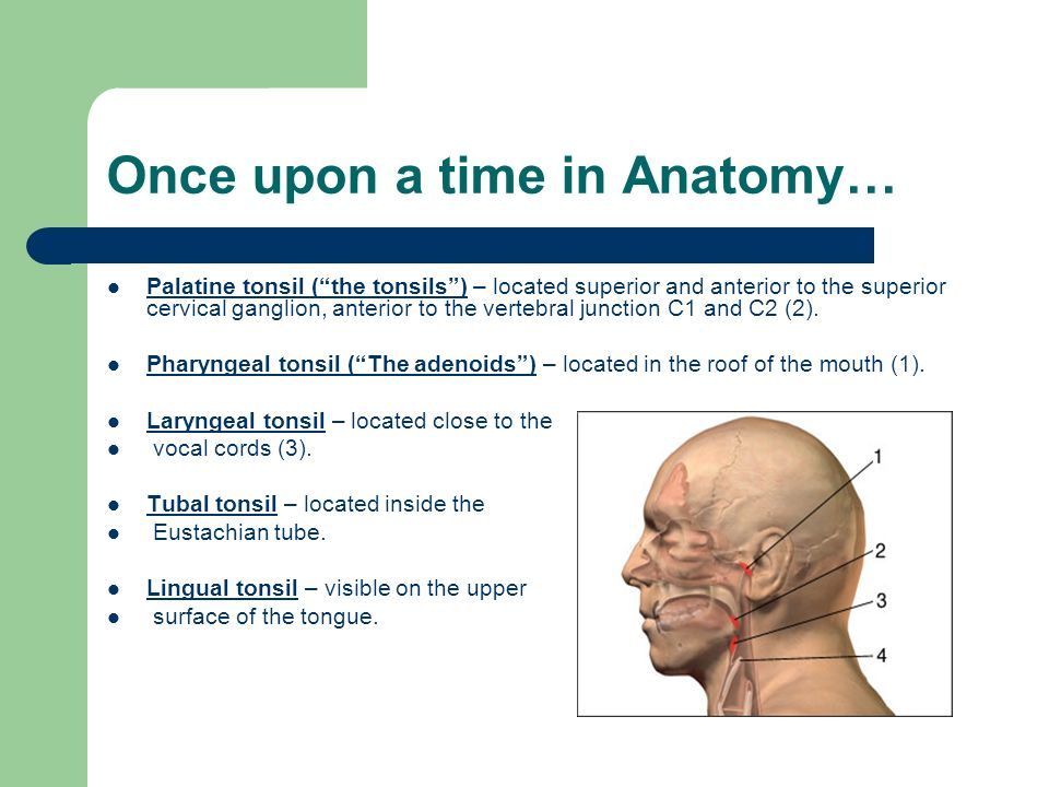 Tonsil Anatomy Pictures Gallery - human body anatomy
