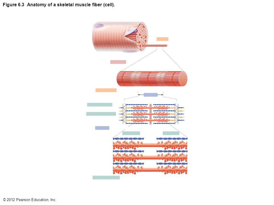 Anatomy Of Skeletal Muscle Fiber Image collections - human body anatomy