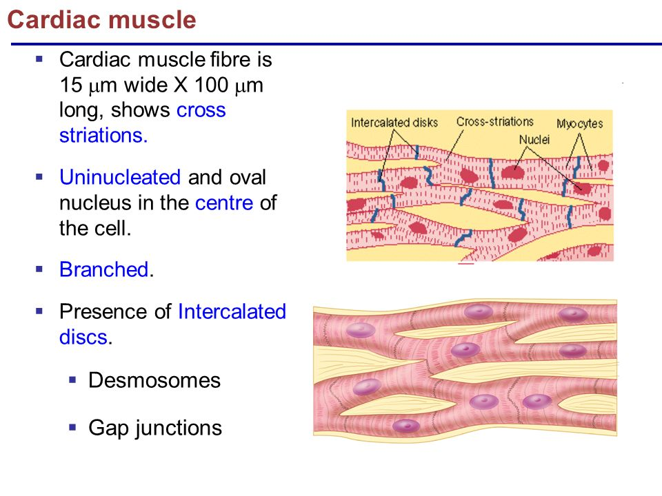 Cardiac Muscle Ppt Video Online Download