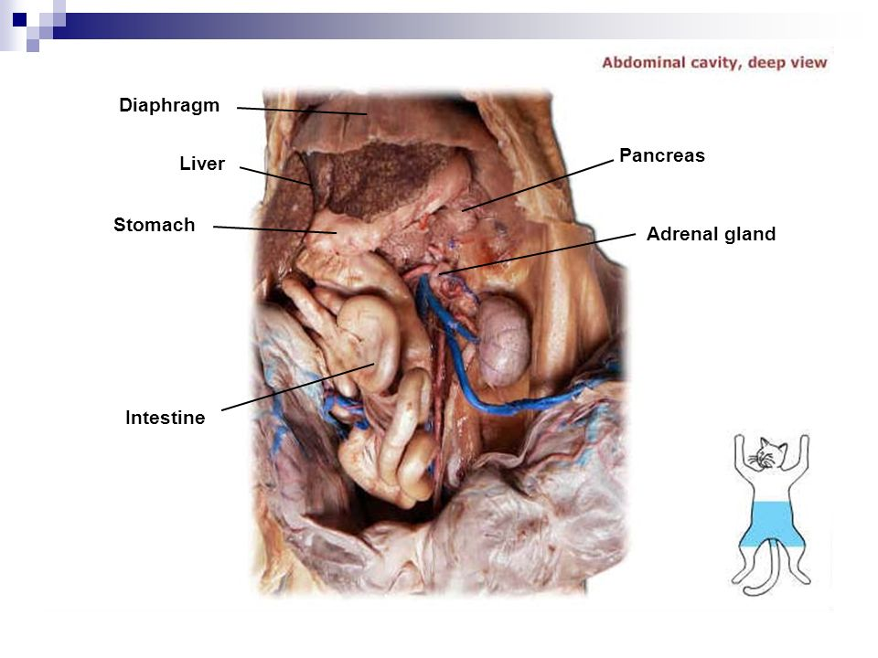 Cat Dissection Diagram Intestines - Basic Guide Wiring Diagram •