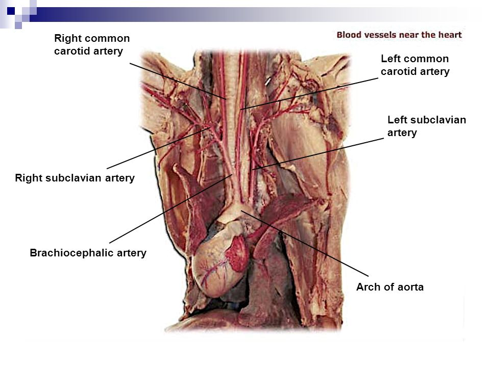 The Cardiovascular System Diagram Of Mink Electrical Work Wiring