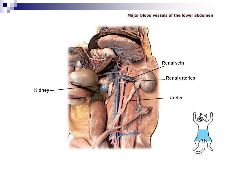 Kidney Dissection Diagram Mink - Block And Schematic Diagrams •