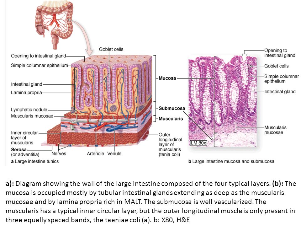 Intestinal Wall Diagram Block And Schematic Diagrams