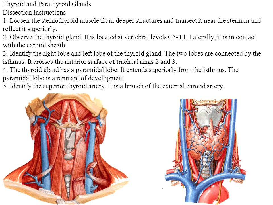 Parts and regions of the neck - ppt download