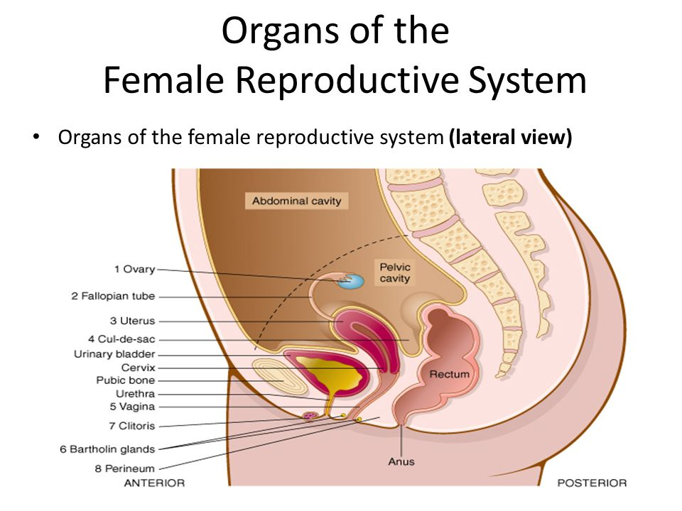 Female Reproductive System Diagram Lateral View Online Schematic