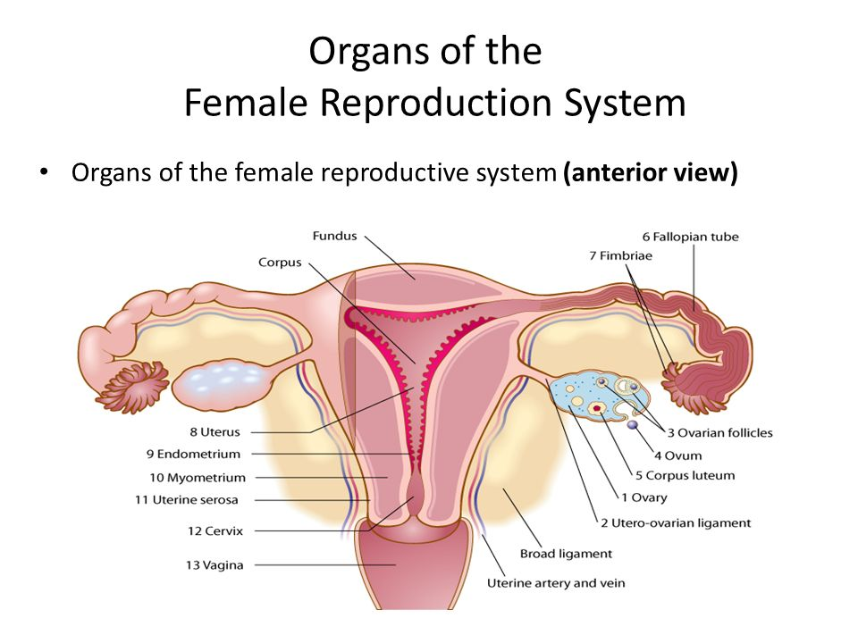 Female Reproductive Unit -Introduction - ppt video online download