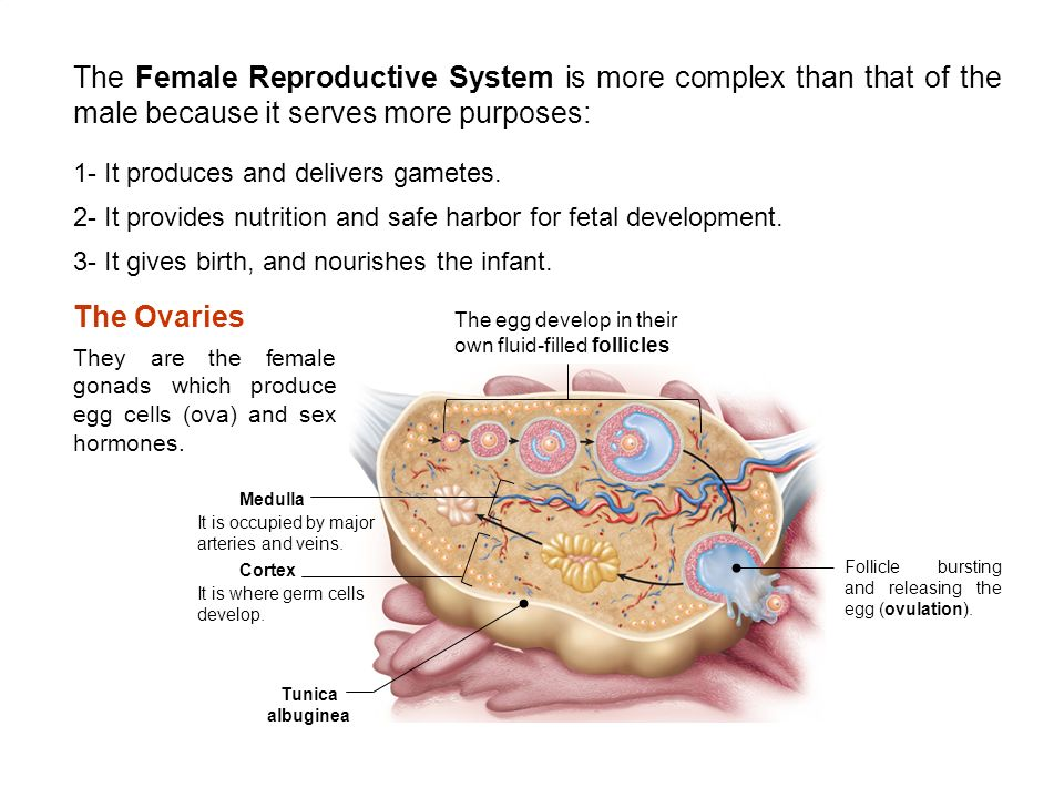 The Female Reproductive System Chapter 28 Ppt Video Online Download