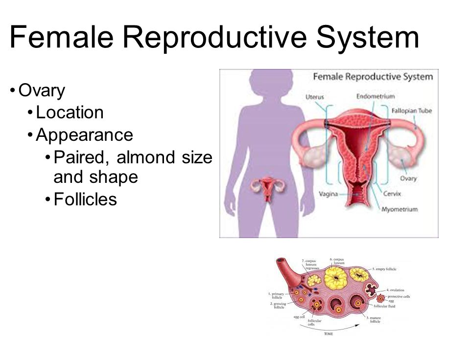 Reproductive System Students will identify the major organs of the ...