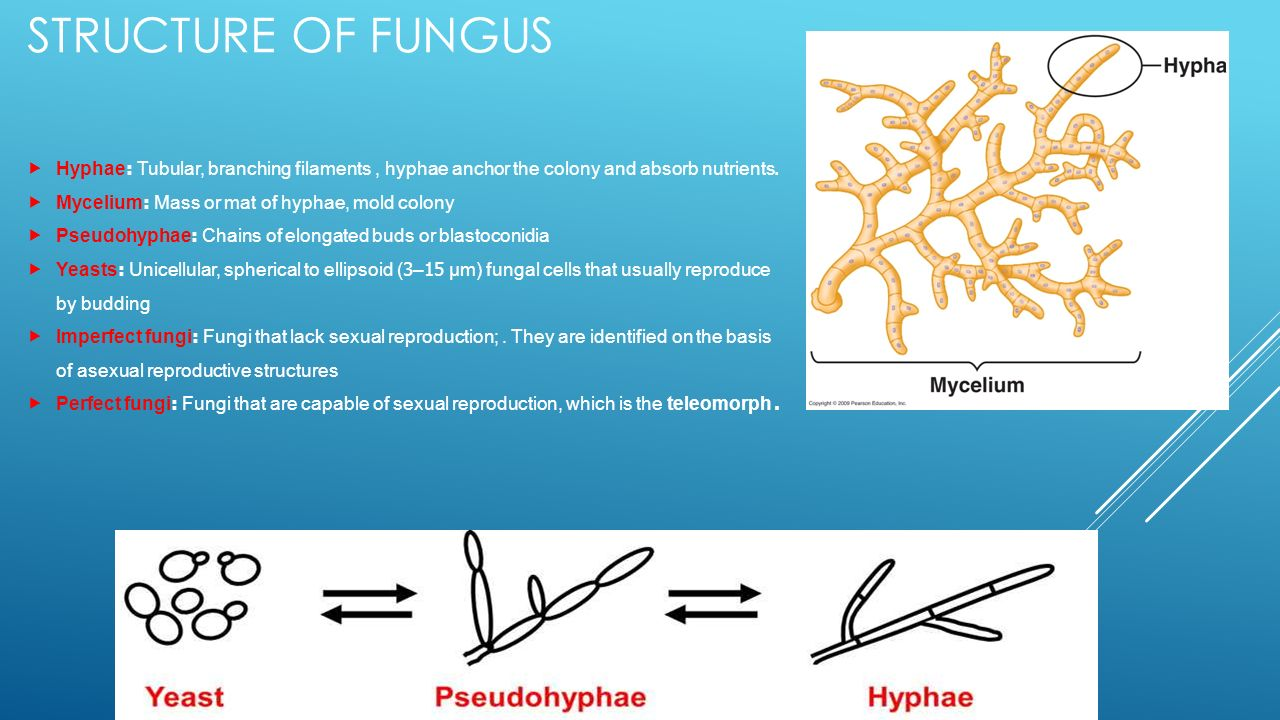 Mold fungi and yeast. The structure of mold fungi 26