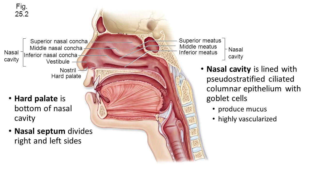 Moderno Hard Palate Anatomy Imágenes - Anatomía de Las Imágenesdel ...