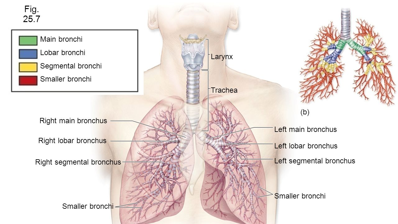 Chapter 25 Respiratory System - ppt video online download