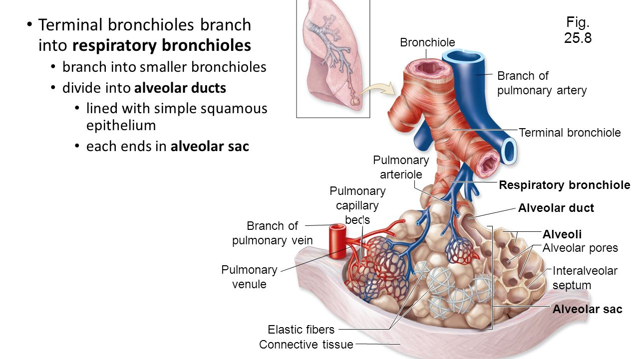 Chapter 25 Respiratory System Ppt Video Online Download