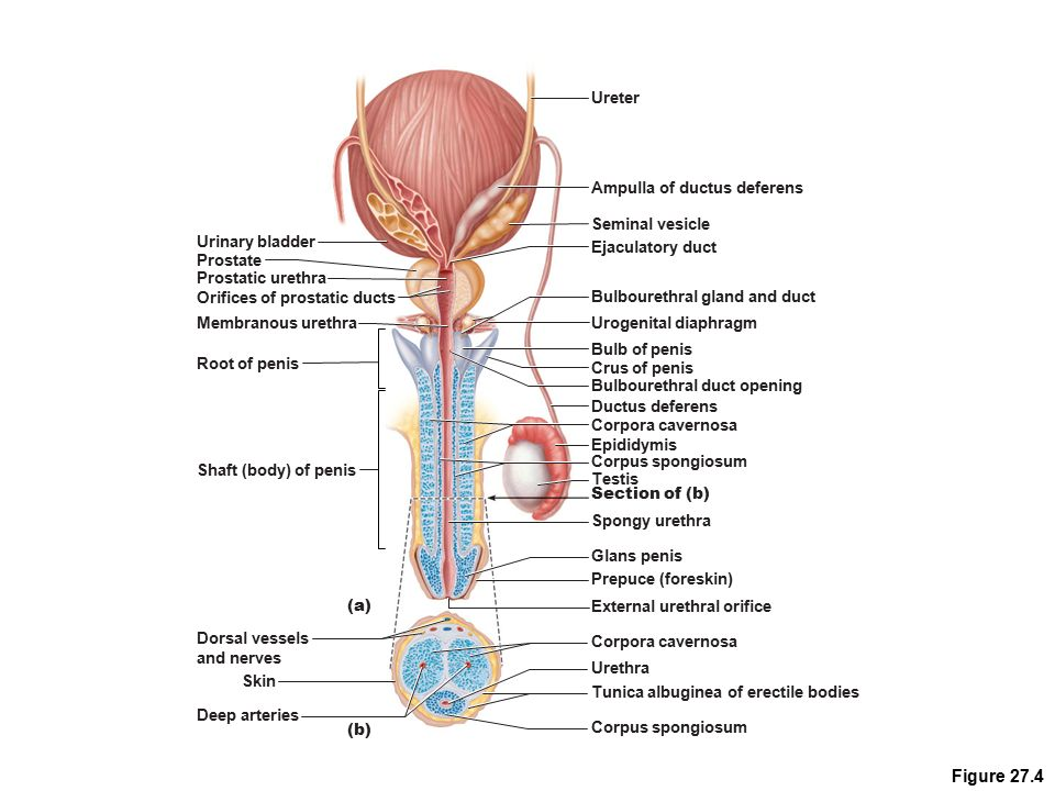 The ductus deferens also known as the vas deferens is a tiny muscular tube in the male reproductive system that carries sperm from the epididymis to the
