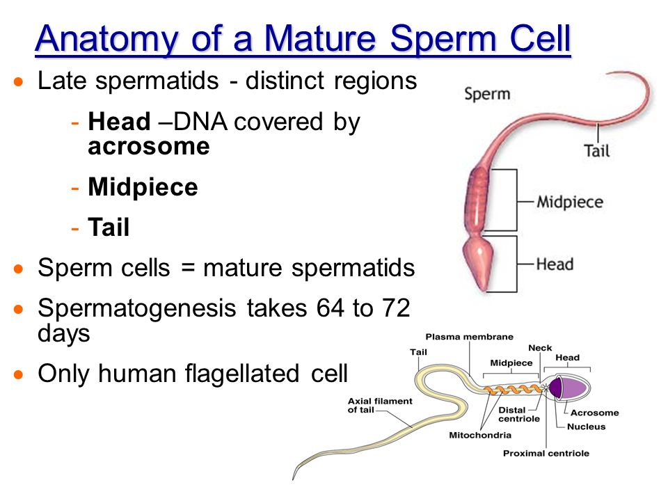 Chapter 16 The Reproductive System Intro & Male - ppt video online ...