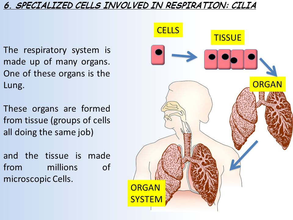 Cells Tissues And Organs In The Respiratory System Student