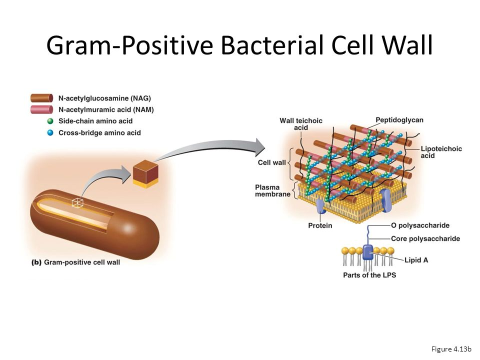Functional Anatomy of Prokaryotic and Eukaryotic Cells - ppt video ...