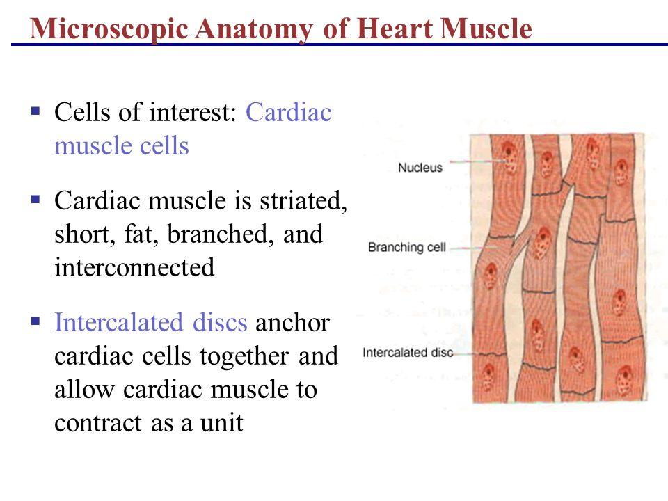 Microscopic Anatomy Of Cardiac Muscle Choice Image - human body anatomy