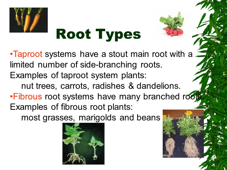 Example of plants with taproot systems and fibrous root systems.
