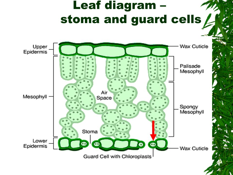 leaf of a cell diagram three parts of a cell diagram