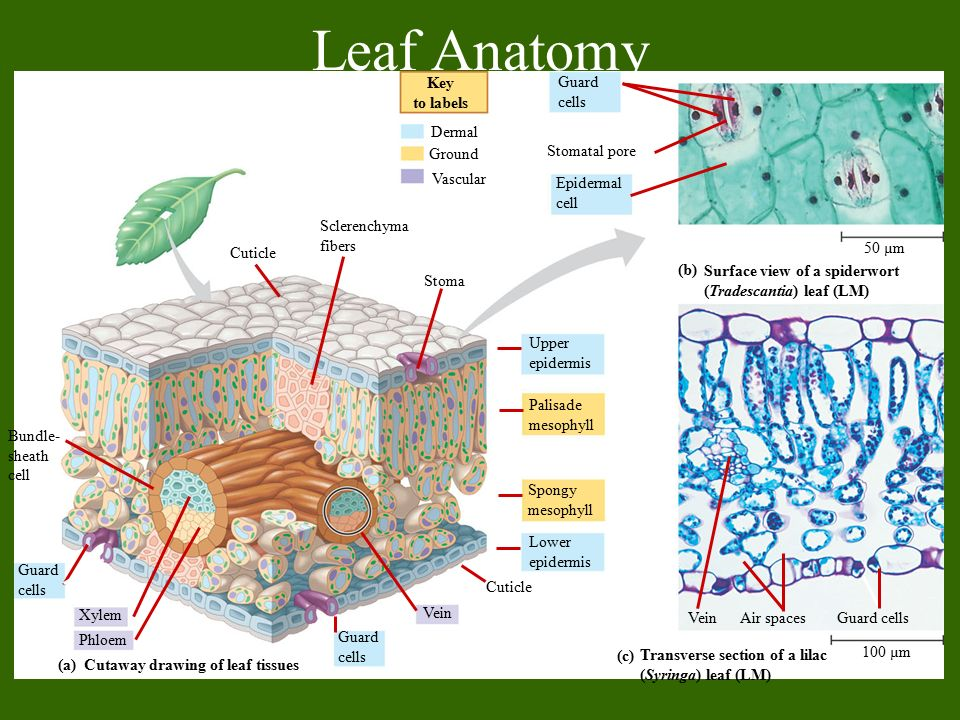 Plant Structure Growth And Development Ppt Video Online Download