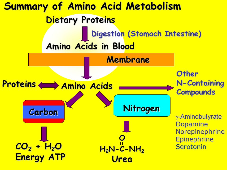 protein metabolism Protein metabolism denotes the various biochemical processes responsible for the synthesis of proteins and amino acids, and the breakdown of proteins by catabolism.