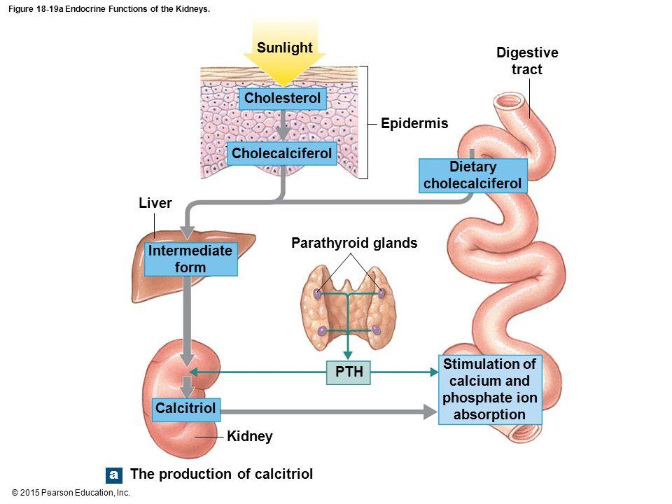 Endocrine Functions Diagram - Block And Schematic Diagrams •