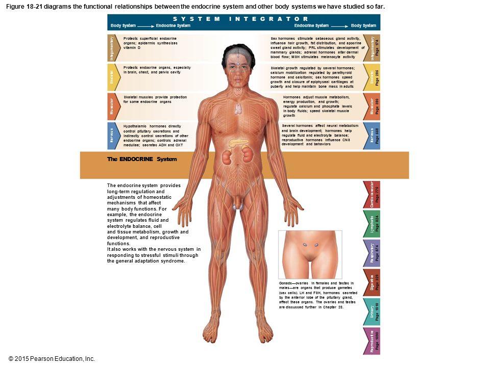 Endocrine Glands Diagram Pearson Edition - Wiring Circuit •