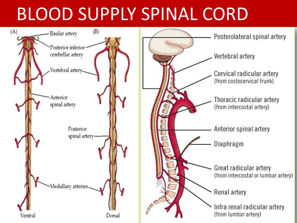 Perfect Spinal Cord Blood Supply Anatomy Gallery - Anatomy And ...