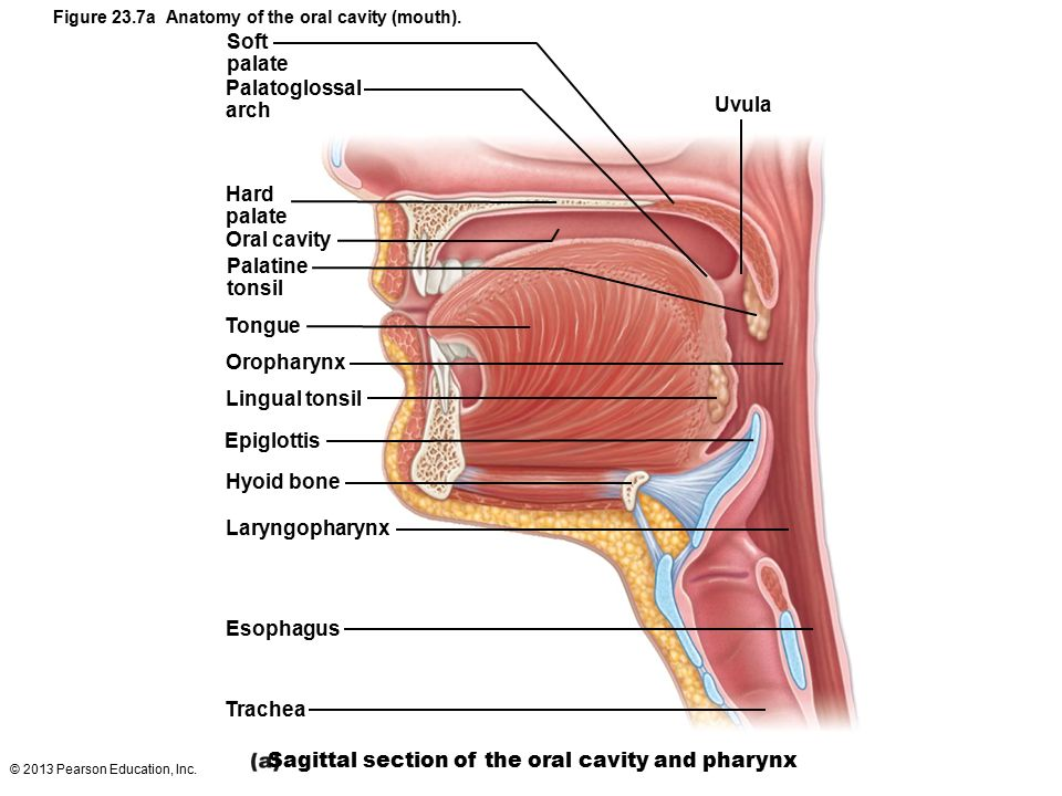 Hard Palate Digestive Diagram - Block And Schematic Diagrams •