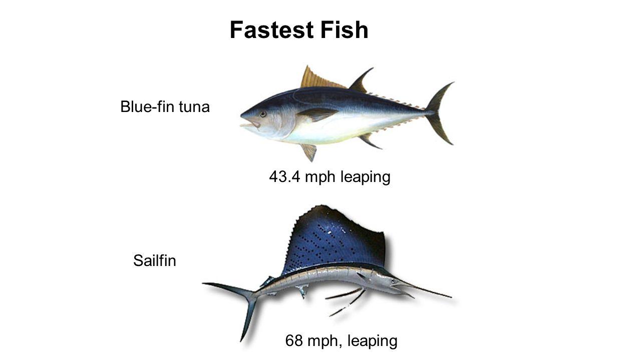 Dorable Tuna Fish Anatomy Elaboration - Anatomy and Physiology ...